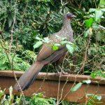 brazil_jacubird_drip